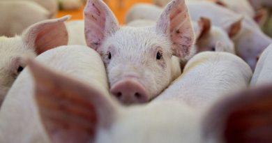 Lanzan la primera plataforma digital de negociación de ganado porcino