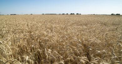 Trigo 2020/21: ¿Cómo marcha la siembra en cada región?