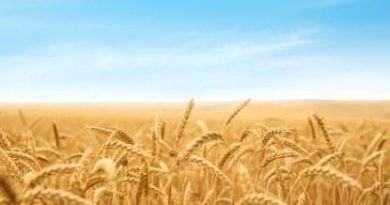 Trigo: ¿Cómo avanza la siembra en cada región?