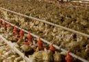 Argentina reiniciará la exportación de carne aviar a la Unión Europea