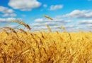 Nuevo recorte para el área de trigo por problemas climáticos